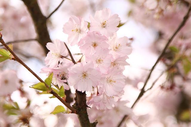 ornamental-cherry-415983_640
